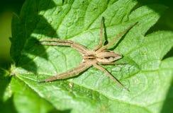 Bezkręgowy portreta pająk na pokrzywowym liściu fotografia royalty free