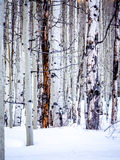 Bezlistne osiki w śniegu Obraz Stock