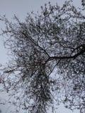 Bezlistny Akacjowy drzewo zdjęcie royalty free