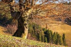 Bezlistny bukowy drzewo na wzgórzu obraz royalty free