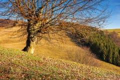 Bezlistny bukowy drzewo na wzgórzu zdjęcie stock