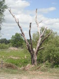 bezlistny drzewo Fotografia Royalty Free