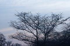 BEZLISTNY drzewo PRZY końcówką zima PRZECIW ranku niebu W AFRYKA obraz royalty free