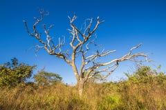 Bezlistny drzewo w cerrado, Pirenopolis zdjęcie royalty free