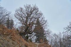 Bezlistny drzewo w Kaukaz g?rach w Svaneti, region Gruzja zdjęcia stock