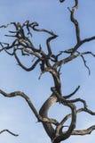 Bezlistny stary drzewo w Kruger parku, Południowa Afryka Zdjęcie Royalty Free