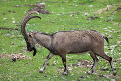 Bezoar ibex (Capra aegagrus aegagrus). Also known as the Anatolian Bezoar ibex. Wildlife animal Royalty Free Stock Photos