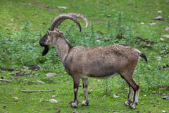 Bezoar ibex (Capra aegagrus aegagrus) stock photography