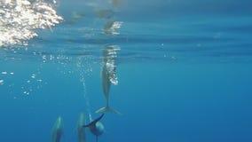 Bezoek van Spinnerdolfijnen stock videobeelden