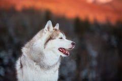 Bezpłatny i prideful Syberyjskiego husky psa obsiadanie jest na śniegu w zima lesie przy zmierzchem na halnym tle zdjęcia royalty free