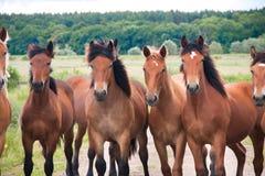 Bezpłatni działający dzicy konie na łące Krajów Midlands krajobraz z grupą zwierzęta fotografia stock