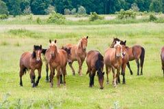 Bezpłatni działający dzicy konie na łące Krajów Midlands krajobraz z grupą zwierzęta zdjęcia stock