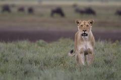 Bezpłatny dziki wędrować afrykański lew Obrazy Stock