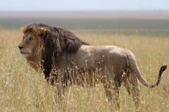 Bezpłatny dziki wędrować afrykański lew Obraz Royalty Free