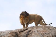 Bezpłatny dziki wędrować afrykański lew fotografia stock