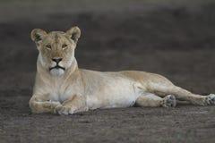 Bezpłatny dziki wędrować afrykański lew obraz stock