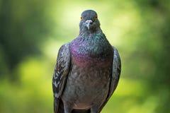 Bezpłatny latający gołąb zdjęcie stock