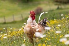 Bezpłatny pasmo chichen, szczęśliwie dzióbać w polu i wędrujący Rolny życie, włoski dom na wsi zdjęcia royalty free