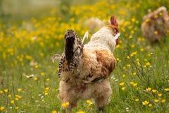 Bezpłatny pasmo chichen, szczęśliwie dzióbać w polu i wędrujący Rolny życie, włoski dom na wsi odosobniony tylni widok biel zdjęcie royalty free