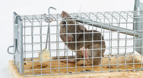 Bezpłatny ser w mousetrap Fotografia Royalty Free