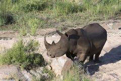 Bezpłatny wędrować biała nosorożec Fotografia Stock