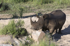 Bezpłatny wędrować biała nosorożec Obraz Royalty Free