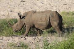 Bezpłatny wędrować biała nosorożec Obrazy Stock