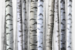 Bezszwowi brzoz drzewa Zdjęcia Stock
