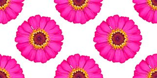Bezszwowy deseniowy piękny różowy cynia kwiat zdjęcie stock