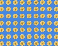 Bezszwowy wzór świeży żółty stokrotka kwiat na błękitnym tle Obrazy Royalty Free