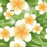 Bezszwowy wzór - frangipani Biały kwiaty Fotografia Royalty Free