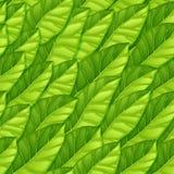 Bezszwowy wzór od zielonych liści Wielostrzałowy wektoru wzór sałata liście Jarski temat Wzór dla tła obraz royalty free