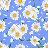 Bezszwowy wzór z rumiankiem kwitnie na błękitnym tle Fotografia Stock