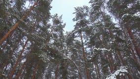Bezszwowy zwolnione tempo materiał filmowy spada śnieg w sosnowym zima lesie zdjęcie wideo