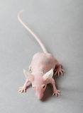 bezwłosa mysz Zdjęcia Stock