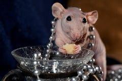 Bezwłosa szczur biżuteria, ser i Fotografia Royalty Free