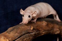 Bezwłosy szczur na suchej gałąź Zdjęcie Royalty Free