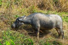 Búfalo asiático en el campo Imágenes de archivo libres de regalías