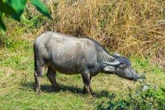 Búfalo asiático en el campo Fotos de archivo