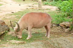 Búfalo blanco (búfalo del albino) Fotografía de archivo libre de regalías