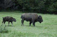 Búfalo da matriz e do bebê Fotografia de Stock