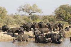 Búfalo de cabo que bebe, África do Sul Fotos de Stock Royalty Free