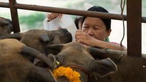 Búfalo de la alimentación de la mujer pequeño con agua Fotos de archivo libres de regalías