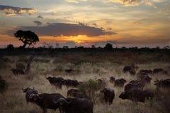 Búfalo en Botswana Imagen de archivo