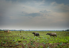 Búfalo na floresta tropical tropical do parque nacional de Khao yai Imagem de Stock Royalty Free
