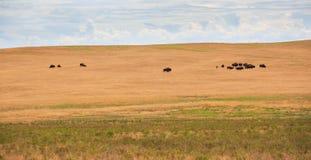 búfalos Fotografia de Stock