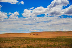 búfalos Fotografia de Stock Royalty Free