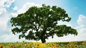 Bg在向日葵领域的绿色树 库存图片
