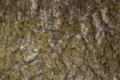 BG-Wood-Tree-Bark-light-moss.CR2 Royalty Free Stock Photography