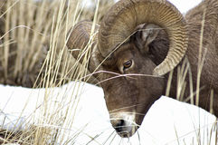 Bghorn Sheep. Male Bighorn Sheep, wintertime Yellowstone National Park Royalty Free Stock Photos